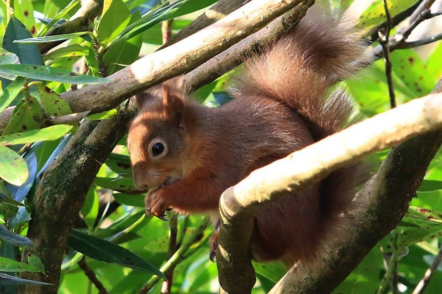 Guided Red Squirrel Ramble